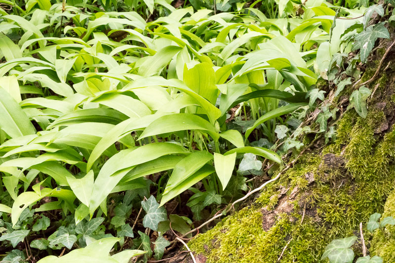 Wild Garlic: Abundant and Versatile