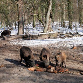 wild boars feeding